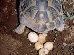 Яйця черепах