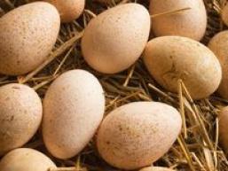 Яйця індички